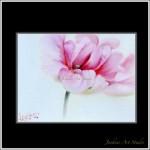 Romantic soft focus Tulip